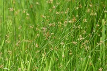 Juncus Effusus (Soft Rush) Is Used For Tatami Mat Materials In Japan.