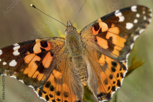 closeup of painted lady butterfly