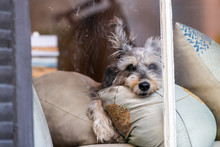 Terrier Dog Waiting For Owner Behind Window In House In New Orleans Lying On Pillows Closeup