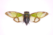 Cicadas : Odd Green Glasswing ...