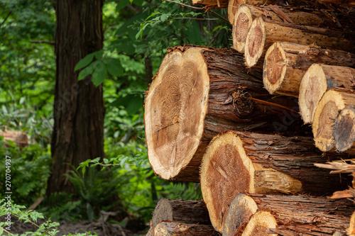 Obraz 伐採された杉 木材 イメージ - fototapety do salonu