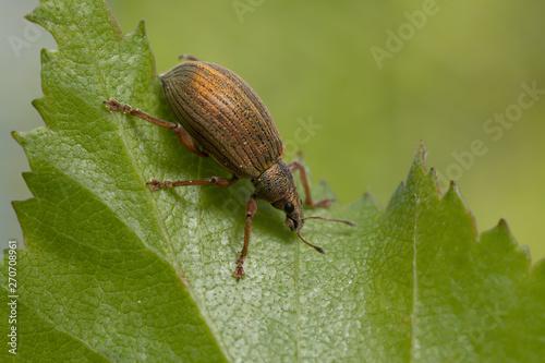 Fotomural Weevil, Polydrusus mollis on birch leaf