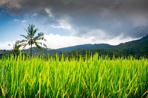 Foto auf Gartenposter Reisfelder Rice fields near Munduk, Bali