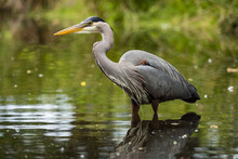 One Great Blue Heron Standing On The Pond Inside Park Searching For Fish To Catch