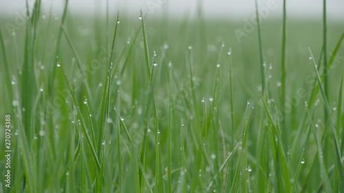 green grass #270724388