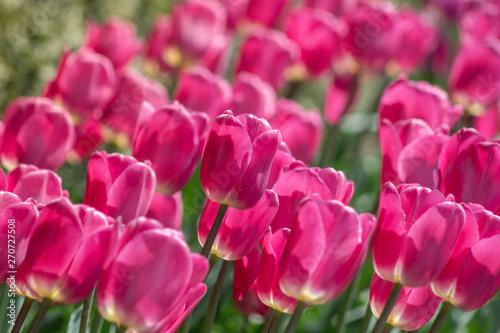 Spoed Fotobehang Roze A garden full of magenta colored tulips against the sunshine