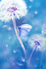 Summer Natural Floral Background. White Dandelions And Beautiful Butterfly On A Blue Fantastic  Background. Soft Focus.