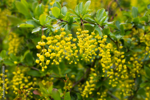 Photo bright yellow flowers of barberry growing in the garden