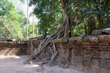A Huge Ficus Grows On The Old ...