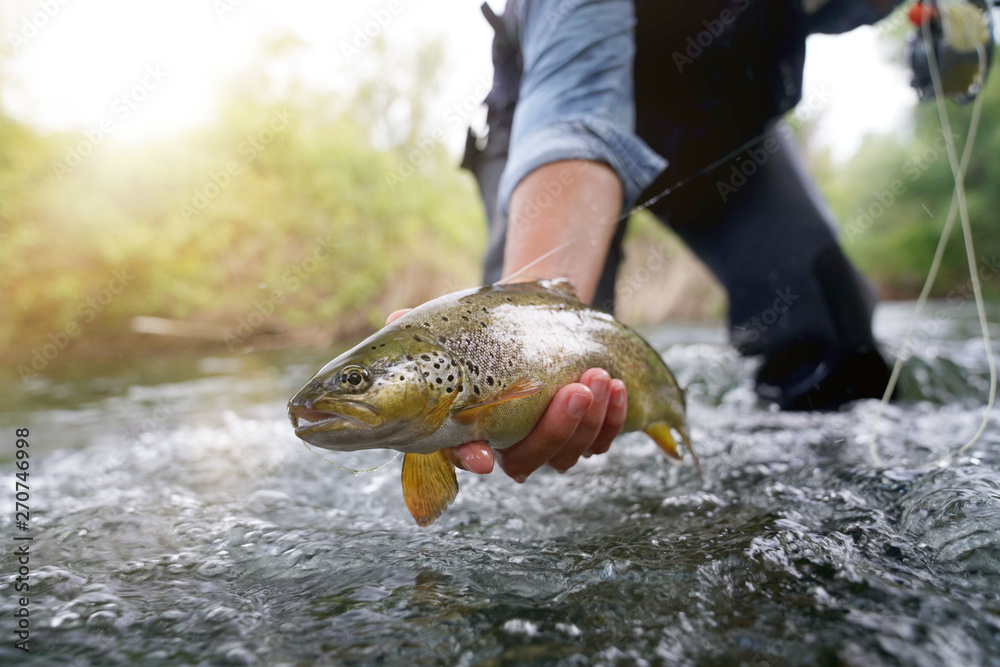 Fototapeta catching a brown trout in the river