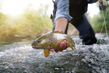 Catching A Brown Trout In The River