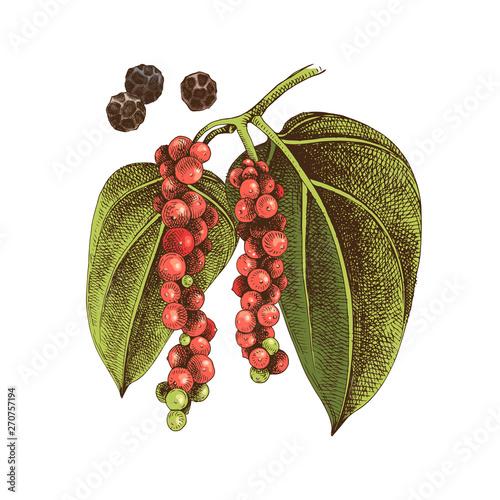 Fototapeta Hand drawn black pepper plant obraz