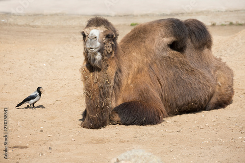 Bactrian camel and crow. Camel is a large mammal of the family of camel order of cloven-hoofed suborder calluses with a desert habitat.