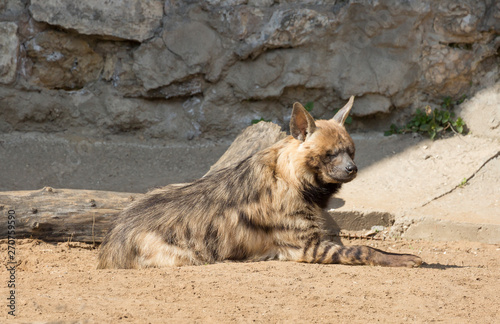 Striped hyena. Body color varies from light yellow to brown and gray with transverse dark stripes on the body. On the back there is a mane of coarse stiff hair.