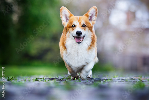 dog for a walk, welsh corgi breed