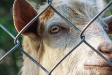 Goat Behind Bars. Farm Breeder...