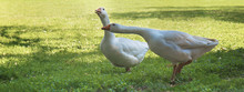 Two Geese, Horizontal Picture:...