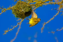 Young Male Cape Weaver Flying From Nest