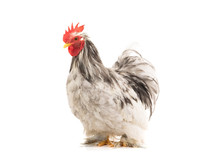 Cochin Rooster Isolated On White