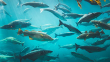 Big Cod Fishes In Huge Water T...