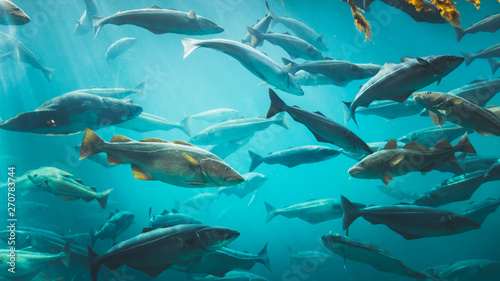 Big Cod fishes in huge water tank. Fototapet