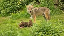 Männlicher Europäischer Wolf...