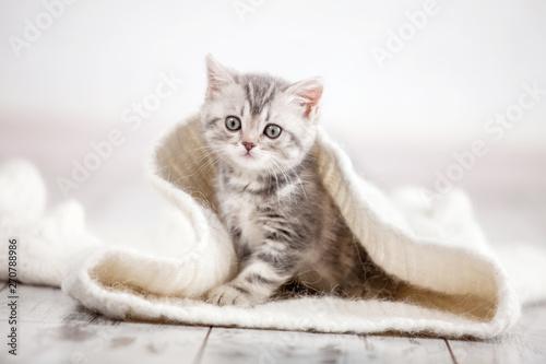 Poster Kat Curious gray kitten