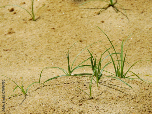 grass on sand in desert #270791750