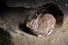 Wild Rabbit In A Burrow. Anima...