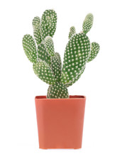 Opuntia Cactus In Pot Isolated On A White Background