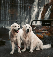 Two Golden Retriever In Front Of A Waterfall