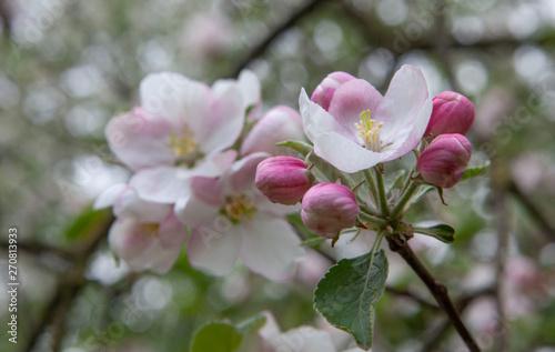 Fototapeta Apple tree blossom Netherlands spring obraz na płótnie