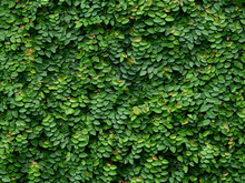 Green Ivy Plant Cover On The W...