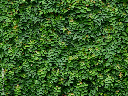 Cadres-photo bureau Vegetal green ivy plant cover on the wall
