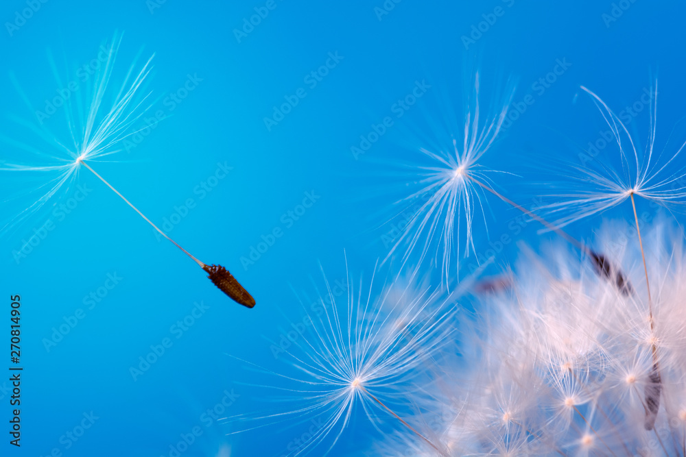 Fototapety, obrazy: Close-up seeds of a dandelion flower fly in the wind on a blue background. Macro. Soft focus.