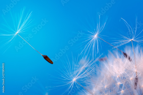 Close-up seeds of a dandelion flower fly in the wind on a blue background. Macro. Soft focus.