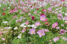 Cosmos Bipinnatus - Dwarf Sensation Blooming In Summer