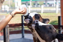 Baby Cow Feeding On Milk Bottl...