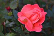 Jiminy Cricket Rose