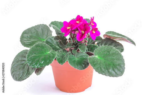 Violet flower in pot on white background. Front view