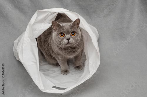 Obraz Gray British cat sitting on a plastic bag - fototapety do salonu