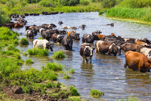 Cows Wade Cross The River