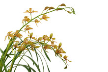 Golden Yellow Cymbidium Orchid...
