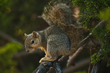 California Gray Squirrel Sits ...