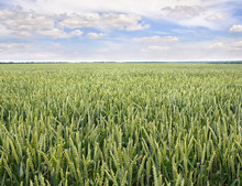 Green Ears Of Wheat On The Field In Ripening Period In Summer On Background Cloudy Sky