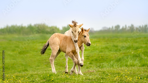 Spoed Foto op Canvas Paarden Two cute dun colored Konik foals playing, legs hang around the neck, they are part of a free-range herd of the Polish primitive horse breed live in nature reserve De Rug, Roosteren, Netherlands