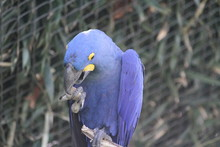 Hyacinth Macaw (scientific Nam...