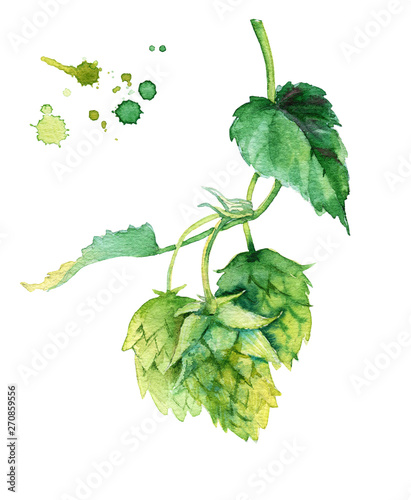 Fényképezés Watercolor illusration of hops vine isolated on white
