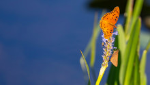 Gulf Fritillary Butterfly And ...