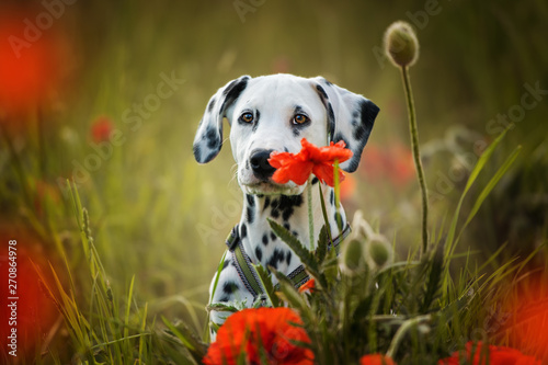 Fototapeta Dalmatian puppy in a poppy flower meadow obraz